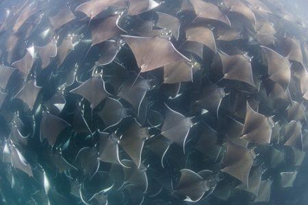 Mobula rays in Cabo San Lucas