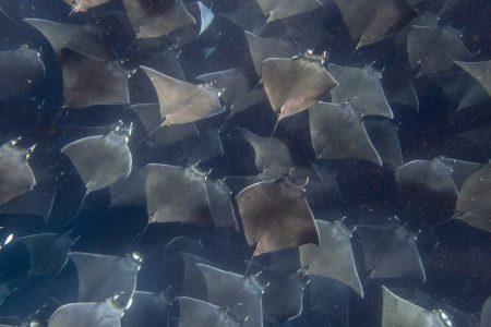 Mobula Ray migration
