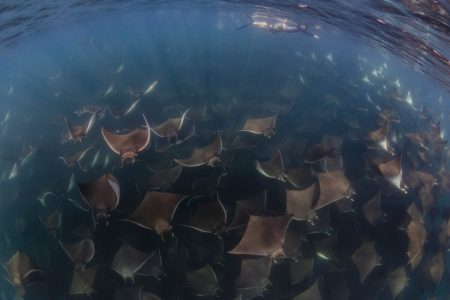 Sea of Cortez : Snorkeling with the Mobula Ray