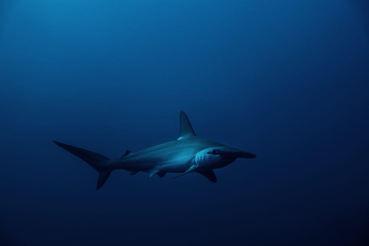 Hammerhead at depth